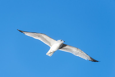 Ring-billed Gull-3  12-29-20 Bolsa Chica