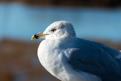Ring-billed Gull-2  12-29-20 Bolsa Chica