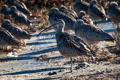 Long-billed Curlew-1  12-29-20 Bolsa Chica