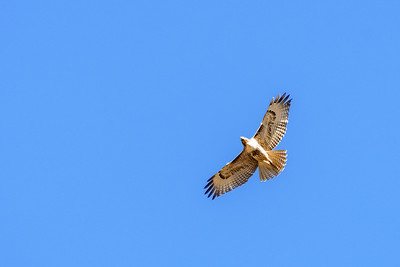 Red-tailed Hawk-2 12-04-20 Bommer Canyon
