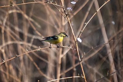 American Golfinch-2 12-04-20 Bommer Canyon