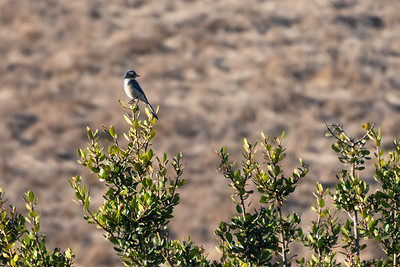 California Scrub-Jay-1 12-04-20 Bommer Canyon