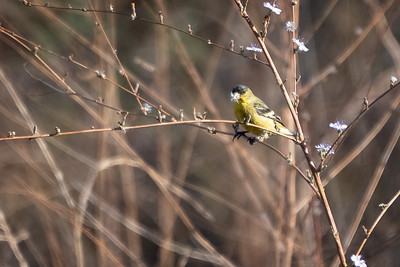 American Golfinch-1 12-04-20 Bommer Canyon