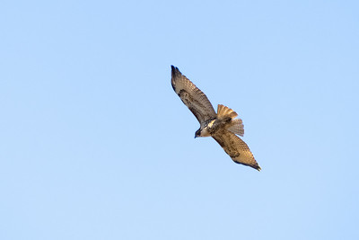 Red-tailed Hawk-1 12-04-20 Bommer Canyon