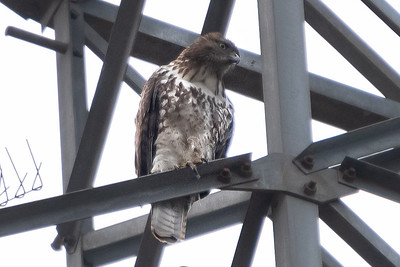 Red-tailed Hawk 3 02-15-21 Dilley