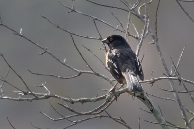 Spotted Towhee 1 02-15-21 Dilley