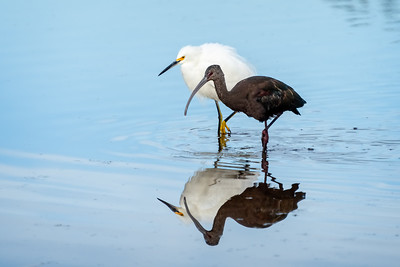 Snowy Egret and White Faced Ibis 12-17-20 San Joaquin Marsh