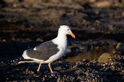 Yellow-footed Gull-2 12-14-20 Shaws Cove