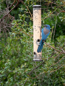 California Scrub Jay-1 01-21-20 Tucker Sanctuary