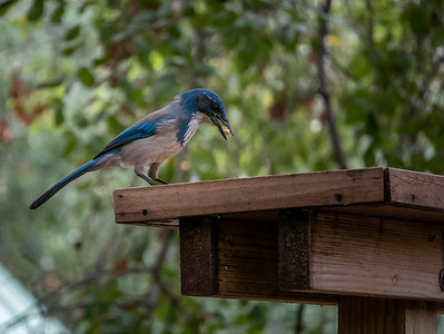 California Scrub Jay-3 01-21-20 Tucker Sanctuary