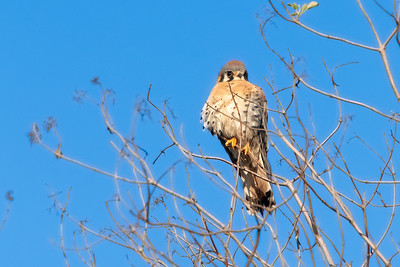 American Kestrel 12-11-20 Upper Newport Bay 12-11-20