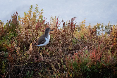 Common Sandpiper-1 12-11-20 Upper Newport Bay