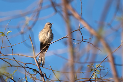 Northern Mockingbird 12-11-20 Upper Newport Bay 12-11-20
