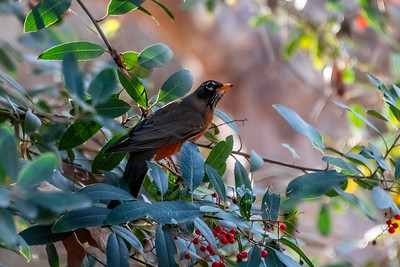 American Robin-4 01-02-21 Aliso and Woods Canyon