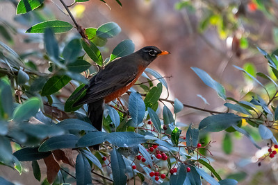 American Robin-2 01-02-21 Aliso and Woods Canyon