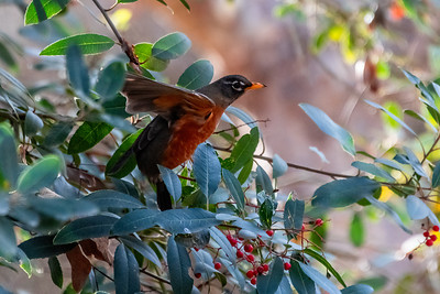 American Robin-3 01-02-21 Aliso and Woods Canyon