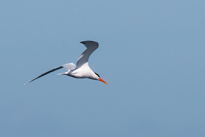 Elegant Tern-3 03-19-21 Pelagic Birdwatching
