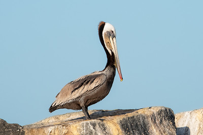 Brown Pelican-2 03-19-21 Pelagic Birdwatching