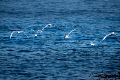 Elegant Tern-5 03-19-21 Pelagic Birdwatching