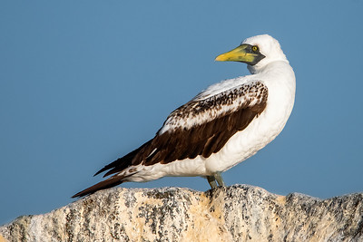 Masked Booby-3 03-19-21 Pelagic Birdwatching