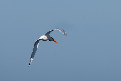 Elegant Tern-4 03-19-21 Pelagic Birdwatching