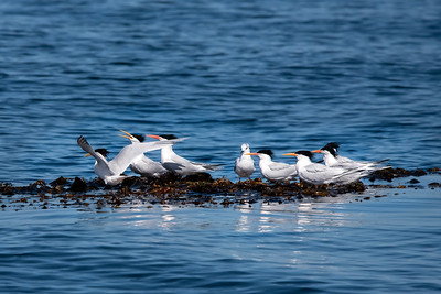 Elegant Tern-2 03-19-21 Pelagic Birdwatching
