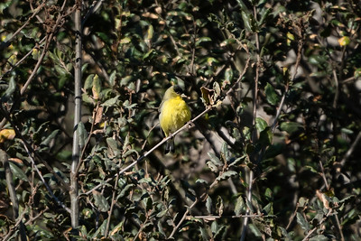 American Goldfinch 01-13-21 Laurel Canyon Trail