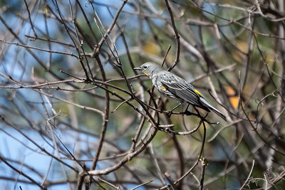 Yellow-rumped Warbler 01-13-21 Laurel Canyon Trail