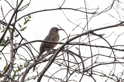 California Thrasher 1
