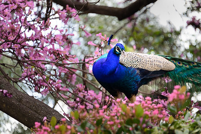 Peacock on the Tree