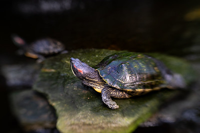 A Turtle at Sherman's Gardens
