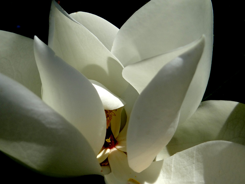 Either a flock of flying nuns, or a magnolia blossom close-up