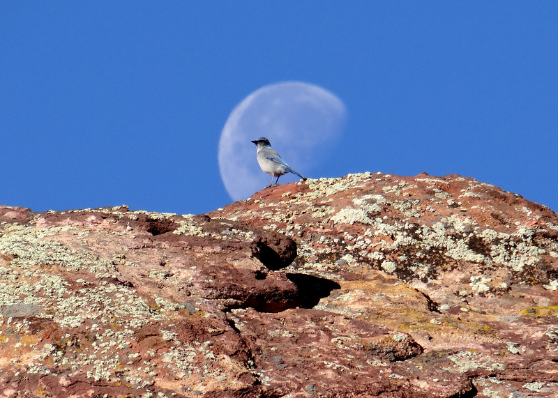 Scrub Jay at Red Rocks Park
