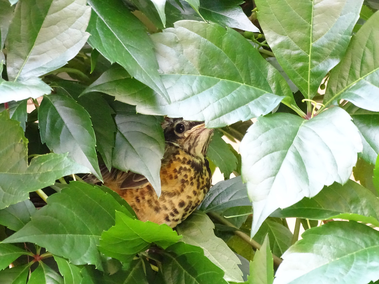 Baby robin thinks he can't be seen