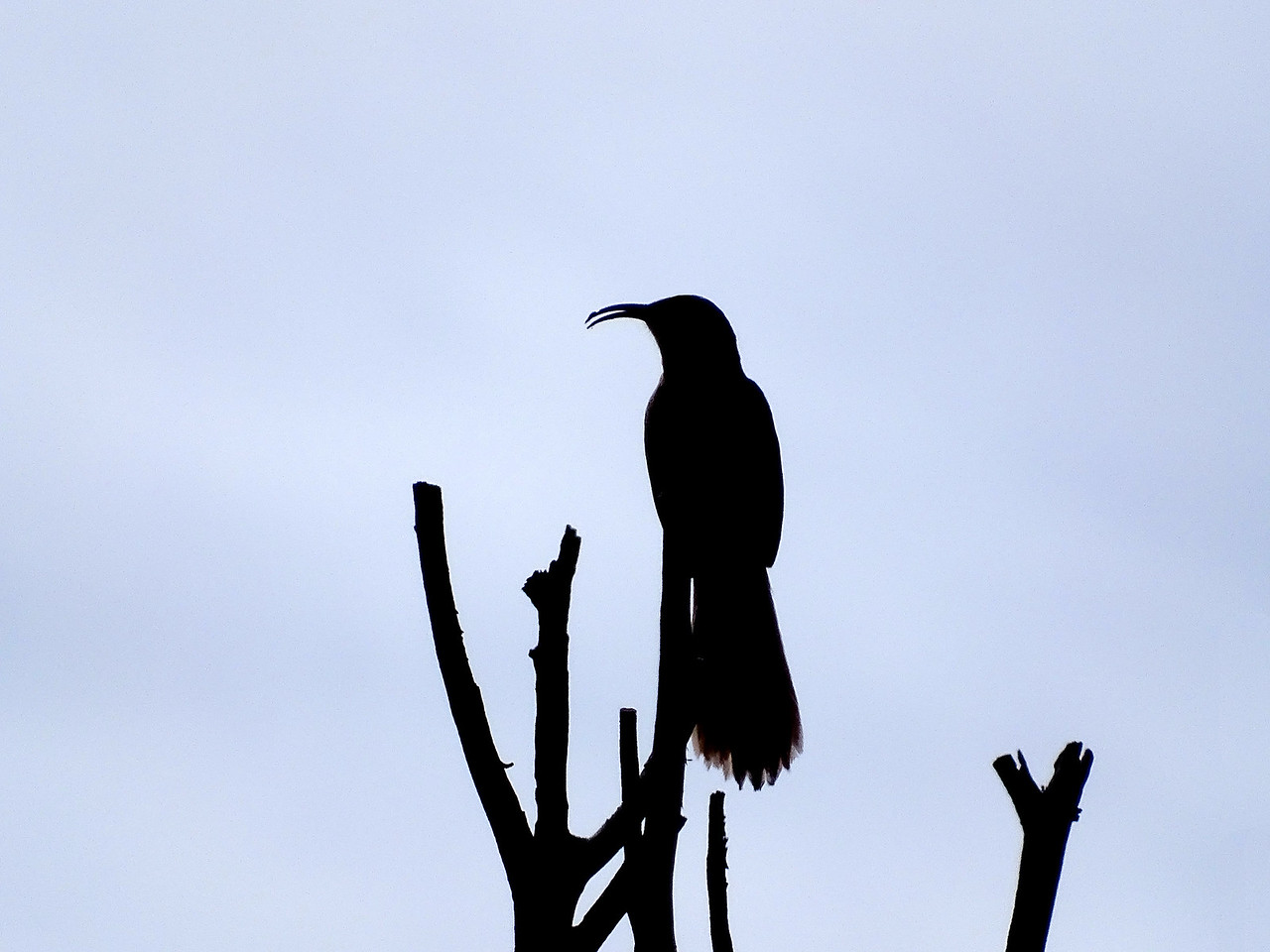 Silhouette of a Crissal Thrasher with its curved bill