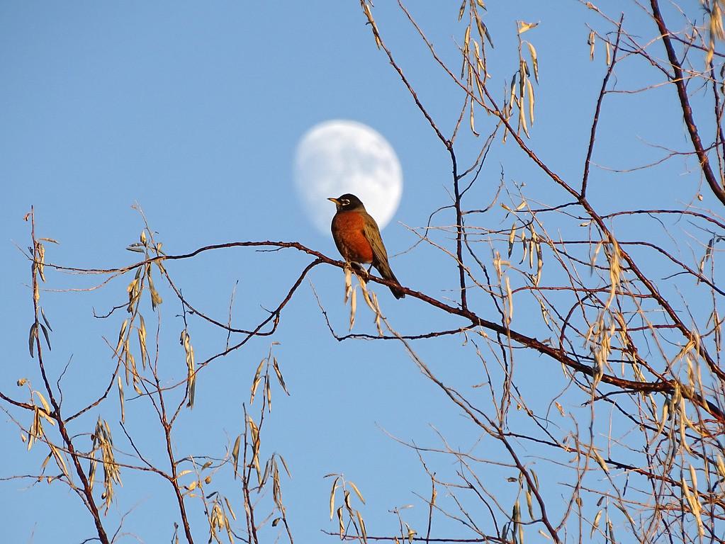 Robin and moon