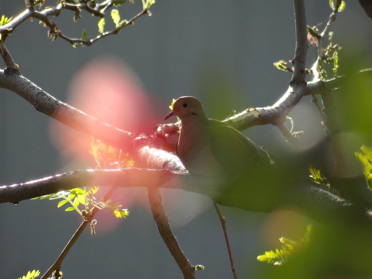 Dove and honeysuckle