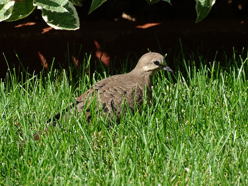 Dove in the grass, an unusual sight
