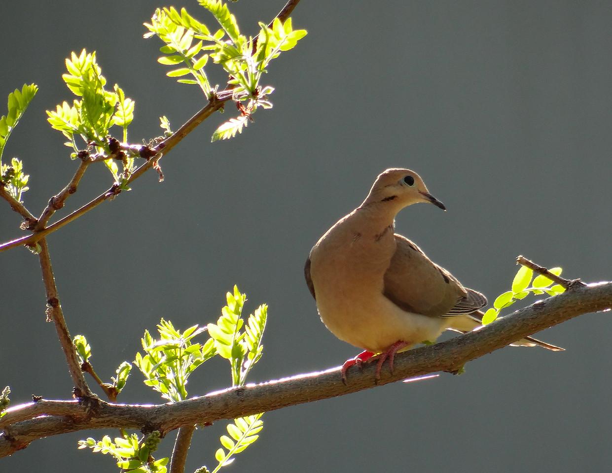 Spring dove