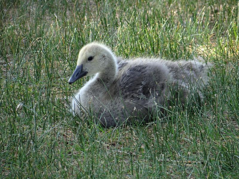 Fledgling goose
