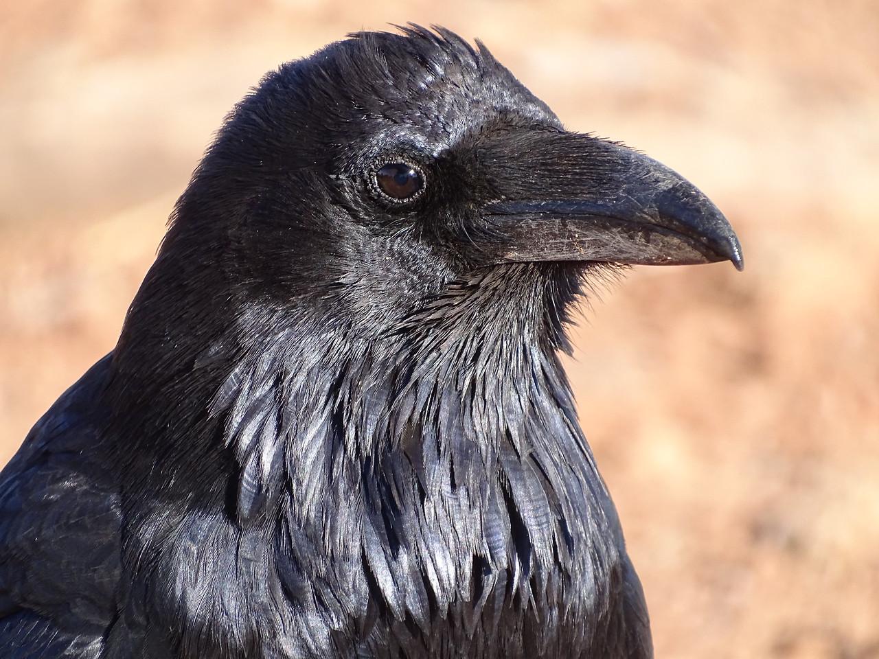 Raven's glossy bib
