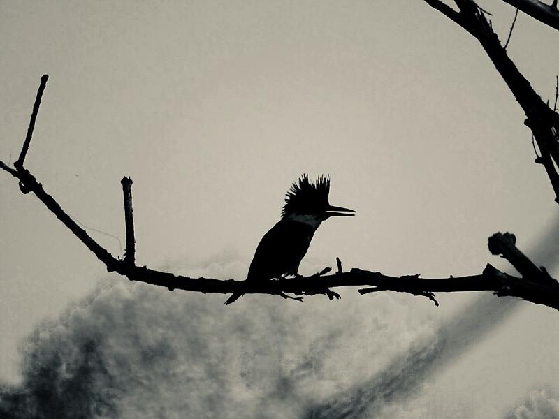 Kingfisher profile
