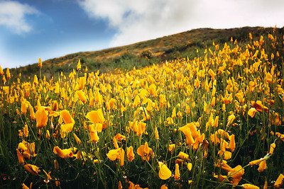 Poppy Field in Walker Canyon, CA
