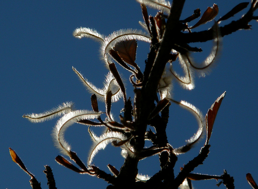 Mountain Mahogany seeds