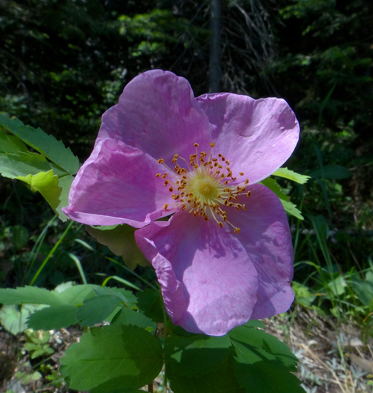 Wild rose at its peak