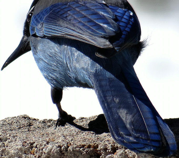 South end of a north-bound Stellar's Jay
