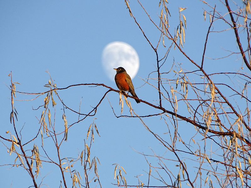 Robin and moon