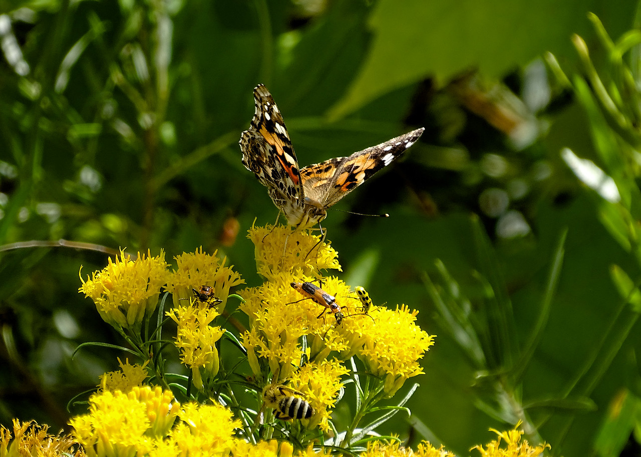 The Painted Lady migration was really something this year.
