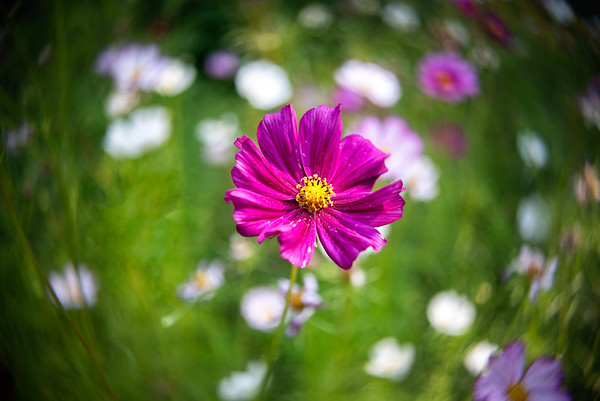 Pink Cosmos in the Field