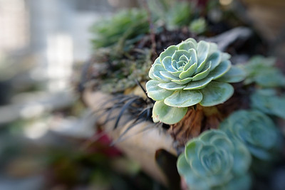 Succulent at the Sherman's Gardens in Corona del Mar